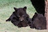 bear babies