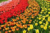 Tulips rainbow colorful 01