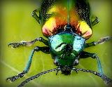Iridescent beetle