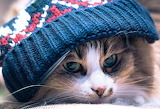 Cat with a blue hat