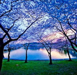 BlueDusk_Sakura,Japan