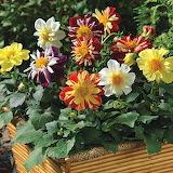 ^ Dahlia Mixed Colors