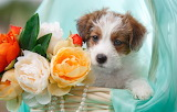 Flowers, basket, necklace, puppy, fabric, Jack Russell Terrier,