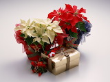 ^ Red and white poinsettia