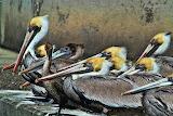 Pelicans Watching Jekyll Island Georgia USA