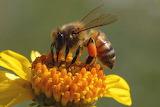 Bee In Katy Prairie