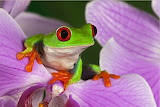 Colorful tree frog from Microsoft Jigsaw by auricle99