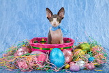 Sphinx Kitten in an Easter Basket