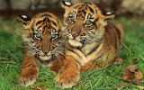 Baby-tigers-grass