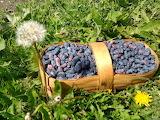 Basket of honeyberries