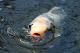 Not so coy, Koi Fish