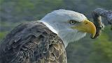 Fierce Adult Bald Eagle