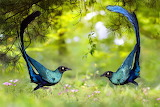 Fight between two Brilliant Long-tailed Starling
