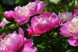 Pfingsrosen rosa