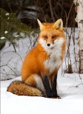 Red Fox Vixen...