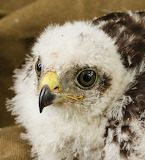 Eurasian Sparrowhawk on the best CC0