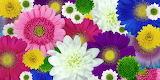 ^ Chrysanthemum