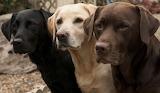 Trio of Labradors