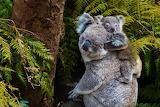 Bears - Koala and baby