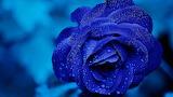 Blue Rose - Rosa Blava