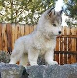 Cadell Puppy