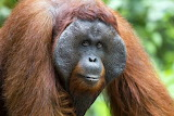 Animal - Orangutan