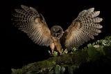 Birds - Mottled Owl