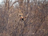 A Red- Winged Blackbird