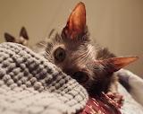 Savannah Kitty