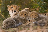 world cheetah day