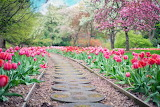 tulips along the path