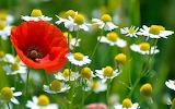 #Poppy Among Daisies