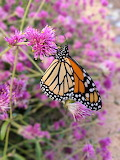 Monarch Butterfly in the Mordecai Garden