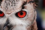 red-eyed owls