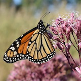 Butterflies - Monarch on a Joe Pye flower