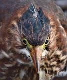 Birds - Green Heron