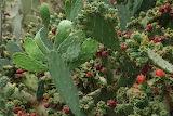 Opuntia-elatior-3