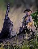 Young baboon. Moremi Game Reserve. Botswana