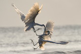 Two great egrets fighting