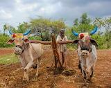 Best Dressed Oxen