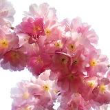 ^ Cherry blossoms