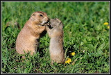 Young Prairie Dog Sharing a snack with Mom