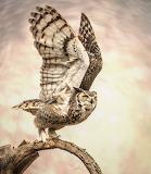 Great Horned Owl , Arizona