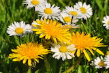 ^ Daisies and Dandelions