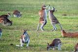 dancing kangaroos