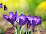 Bright Purple Crocus