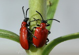 Scarlet lily beetle, pretty but terrible