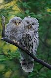 Birds - Fledgeling Ural Owl with Parent