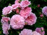 rose redneck rosarian