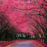 Pink Cherry Road...